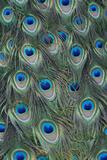 Close Up of Male Peacock, Pavo Cristatus, Feathers Photographie par Joe Petersburger