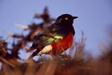 Portrait of a Superb Starling, Lamprotornis Superbus Fotografisk tryk af David Pluth