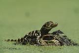 Baby Alligator On Mother's Head Among Duckweed Fotografisk tryk af Chris Johns