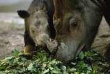 A Captive Sumatran Rhinoceros and Her Calf Feeding On Tree Branches Photographic Print by Joel Sartore