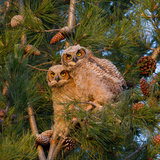 Two Owlets Sit in a Pine Tree Photographic Print by Chris Schwarz