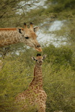 A Mother and Juvenile Giraffe, Giraffa Camelopardalis, Among Acacias Photographic Print by Beverly Joubert