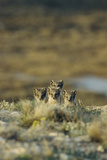 Young Arctic Foxes (Alopex Lagopus) On a Hillside Above Cambridge Bay Fotografisk tryk af Norbert Rosing