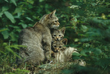 Wildcat with Young, Bayerischer Wald National Park, Germany Fotografisk tryk af Norbert Rosing