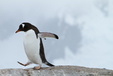 A Gentoo Penguin Walking a Rock Photographic Print by Ira Block