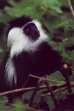 Ruwenzori Black and White Colobus Monkey in a Tree, Looking Up Fotografisk tryk af David Pluth