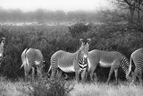 A Herd of Grazing Grevy's Zebras, Equus Grevyi Photographic Print by Robin Moore