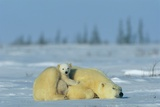A Sleepy Polar Bear Mother (Ursus Maritimus) Serves As a Protective Bed for Her Cub Fotografisk tryk af Norbert Rosing