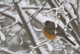 An American Robin, Turdus Migratorius, in a Tree During a Snowstorm Photographic Print by Kent Kobersteen