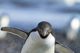 An Adelie Penguin Uses Its Wings As Balance On Rocky Terrain Photographic Print by Ira Block