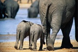 Two African Elephant Calves (Loxodonta Africana) Walking with Their Mother to a Rain Water Pond Photographic Print by Beverly Joubert