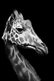 Close Up Portrait of an Endangered Rothschild Giraffe Photographic Print by Robin Moore