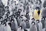 Emperor Penguin with Chicks, Aptenodytes Forsteri, Antarctic Photographic Print by Frans Lanting