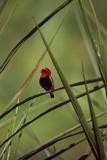 A Male Red Bishop Bird, Euplectes Orix, Perched On a Sedge, Calling Fotografisk tryk af David Pluth