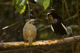 A Male Carola's Parotia Displays to a Female At His Display Court Photographic Print by Tim Laman