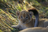 Three-week-old Cub Playing with Its Mother's Tail Photographic Print by Beverly Joubert