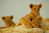 Three Young African Lion Cubs (Panthera Leo) Playing in the Sun Fotografie-Druck von Beverly Joubert
