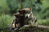 Pups of Captive Mexican Gray Wolves Photographic Print by Joel Sartore