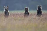 Three Brown Bear Spring Cubs Standing Together for a Better View Fotografisk tryk af Barrett Hedges
