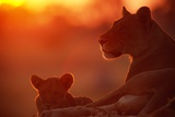 African Lions (Panthera Leo) - Female and Cub At Twilight, with the Lioness Looking for Prey Photographic Print by Beverly Joubert