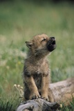 A Wolf Pup (captive) Sits Up and Howls (Canis Species) Fotografisk trykk av Tom Murphy