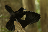 An Adult Male Paradise Riflebird Performs a Practice Display Photographic Print by Tim Laman