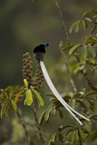 An Adult Male Ribbon Tailed Astrapia On a Schefflera Tree Photographic Print by Tim Laman