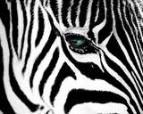 Zebra Closeup Animal Poster Billeder