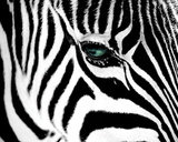 Zebra Closeup Animal Poster Photo