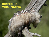 Opossum (Didelphis Virginiana) Prints by James Hager