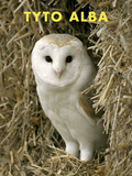 Owl (Tyto Alba) Poster