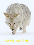 Coyote (Canis Latrans) Posters