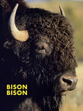 Bison (Bison Bison) Print by Chuck Haney