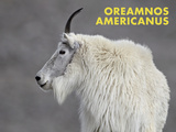 Mountain Goat (Oreamnos Americanus) Print by James Hager