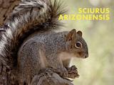 Squirrel (Sciurus Arizonensis) Kunst af Ann & Steve Toon
