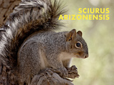 Squirrel (Sciurus Arizonensis) Art by Ann & Steve Toon