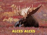 Moose (Alces Alces) Kunst von Dee Ann Pederson