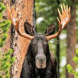 Skinny Chocolate Moose Prints by Gary Crandall