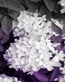 Aubergine Flower I Poster by Jairo Rodriguez