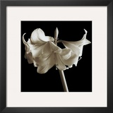 Amaryllis Framed Giclee Print by Michael Harrison