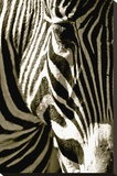 Zebra Head Stretched Canvas Print by Courtney Lawhorn