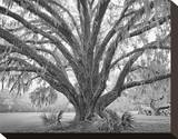 Elder Oak with Palmettos Stretched Canvas Print by William Guion