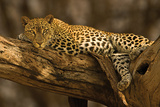 Leopard - Tree Photo