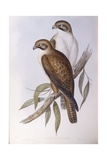 Brown Falcon (Falco Berigora Occidentalis), Engraving by John Gould Prints