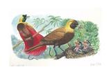 Couple of Red Birds of Paradise Paradisaea Rubra; Female Feeding Chicks in Nest Prints