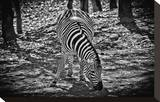 Zebra Stretched Canvas Print by Michael Polk