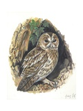 Tawny Owl Strix Aluco, Illustration Posters