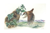 Eurasian Wren Troglodytes Troglodytes at Nest, Illustration Prints