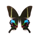 Papilio Krishna Myanmar Photographic Print by Christopher Marley