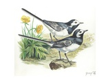 White Wagtails Motacilla Alba, Illustration Poster